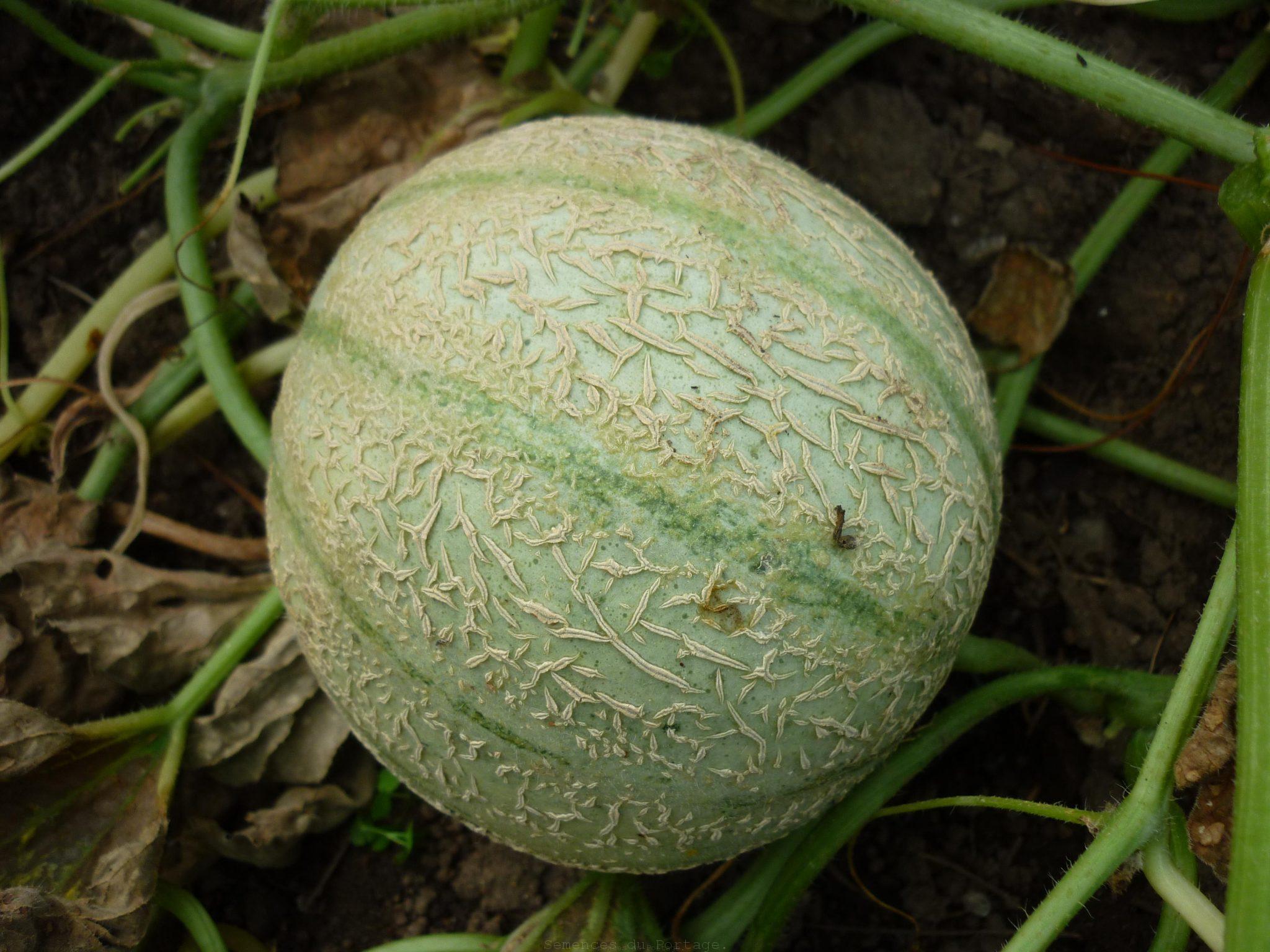 Melon charentais semences du portage - Culture du melon charentais ...